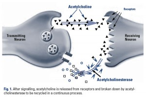 acetylcholine acetylcholinesterase
