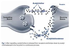 Acetylcholinesterase & Acetylcholine