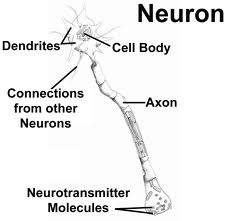 neuron structure in the brain